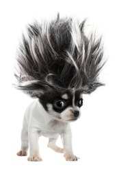 Chihuahua puppy small dog with crazy troll hair