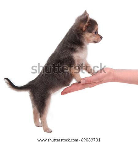 Chihuahua puppy standing on hind legs and steppind with its front legs on palm isolated on white
