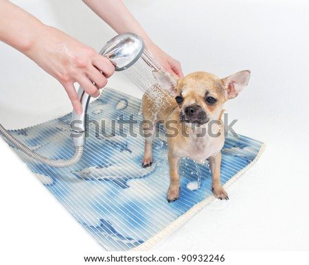 Chihuahua puppy taking shower in bathroom