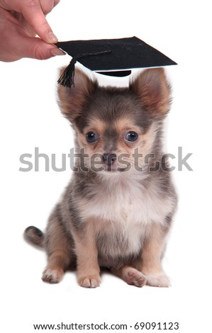 Wonderful Graduation Cap Black Adorable Dog - stock-photo-chihuahua-puppy-wearing-a-mortar-board-hat-for-graduation-isolated-on-white-background-69091123  Pic_2510046  .jpg