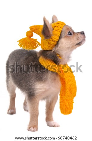 Chihuahua puppy wearing funny hat and scarf, isolated