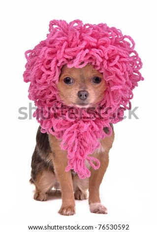 Chihuahua puppy wearing funny pink wig isolated on white background