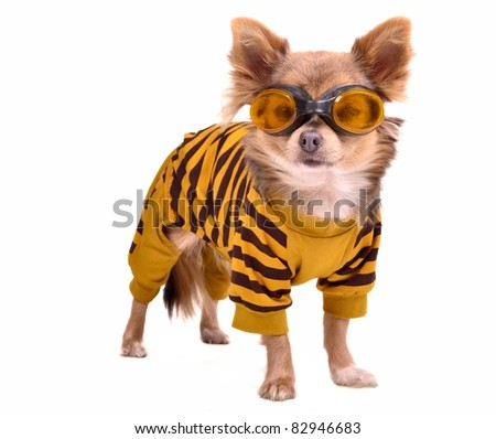 Chihuahua puppy wearing yellow suit and goggles isolated on white background