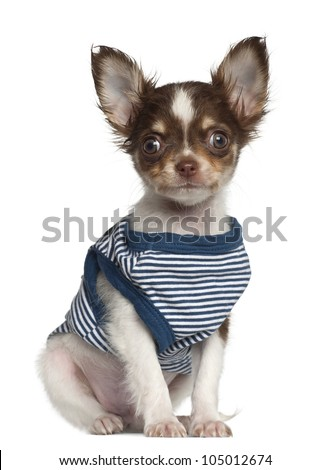 Chihuahua puppy, 12 weeks old, sitting against white background