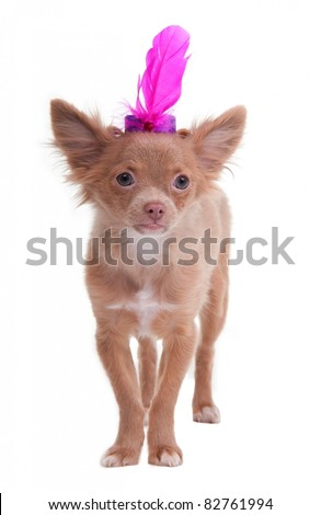 Chihuahua puppy with a feather on its head like cabaret dancer, isolated on white background