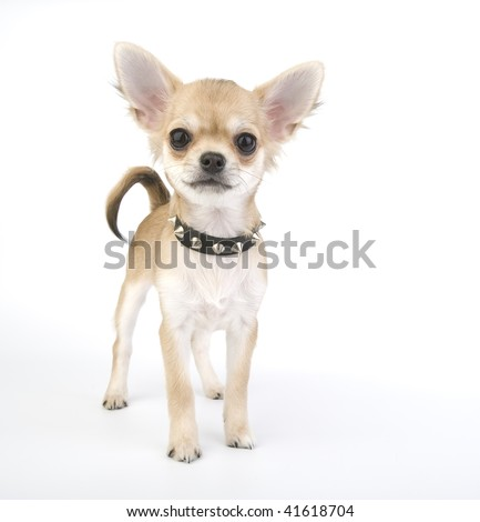 Chihuahua puppy with black leather collar with spikes - stock photo