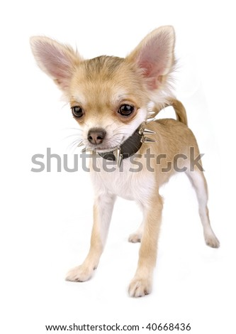 Chihuahua puppy with black leather collar with spikes isolated