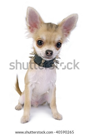 Chihuahua puppy with black leather collar with spikes isolated on white background