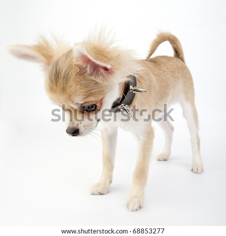 Chihuahua puppy with black leather studded collar looking down on white background