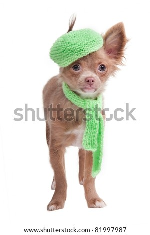 Chihuahua puppy with french cap and scarf