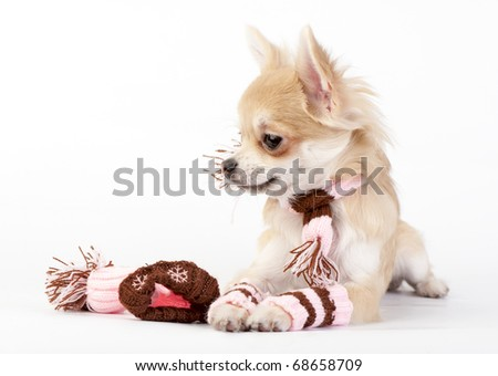 chihuahua puppy with knitted winter striped socks,  scarf and hat lying  on white
