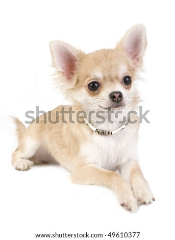chihuahua puppy with necklace portrait lying  on white isolated