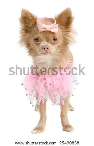 Chihuahua puppy with pink ballerina dress isolated
