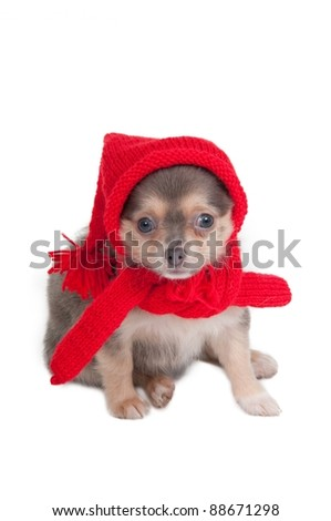 Chihuahua puppy with red hat and shawl