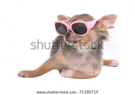 Chihuahua Puppy with Sunglasses, Isolated