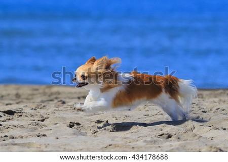 chihuahua running #434178688