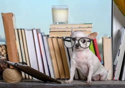 Chihuahua sits in glasses among the books by the window, looking around in confusion. A white dog sits on a shelf by the window among the books, looking distractedly to the side