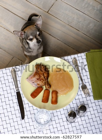 Chihuahua sitting and looking up at food on plate at dinner table - stock photo