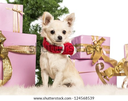 Chihuahua sitting and wearing a Christmas scarf in front of Christmas decorations against white background