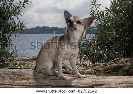 chihuahua sitting at the beach near the water