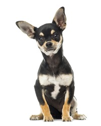 Chihuahua sitting, facing, isolated on white