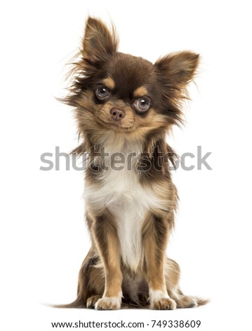 Chihuahua sitting, looking at the camera, isolated on white #749338609