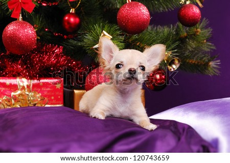 Chihuahua sitting on the pillow on christmas tree background