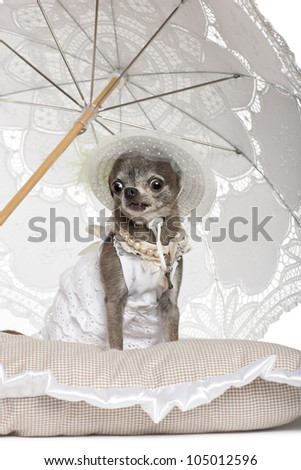 Chihuahua sitting under parasol against white background