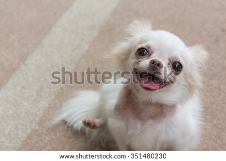 chihuahua small dog happy smile, cute pets friendly