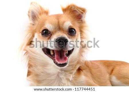 chihuahua smile