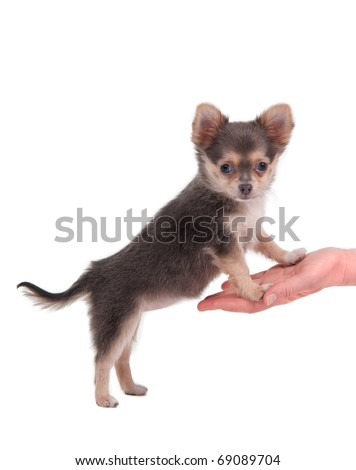 Chihuahua standing on its hind legs, looking at the camera