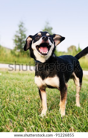 Chihuahua standing on the Grass Smiling. This is Reese she is a Chihuahua. Isolated from the background. Perfect outdoor lighting and natural setting.