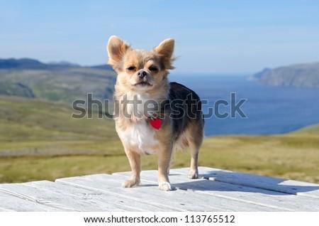 Chihuahua traveller against Norwegian landscape