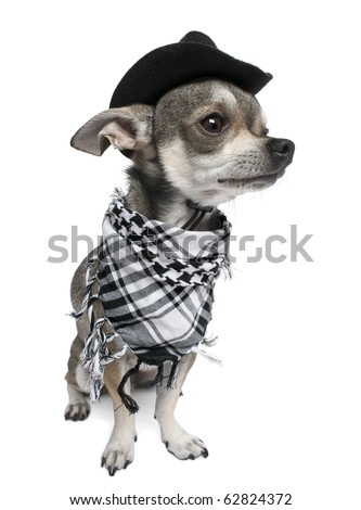 Chihuahua wearing a hat in front of white background