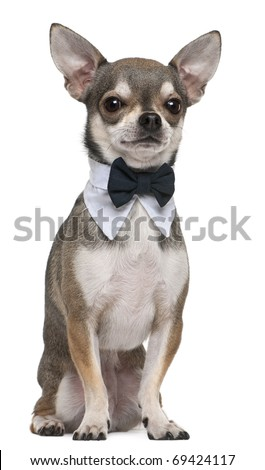 Chihuahua wearing bowtie, 3 years old, sitting in front of white background