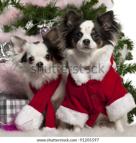 Chihuahua, wearing Santa outfit with Christmas gifts in front of white background
