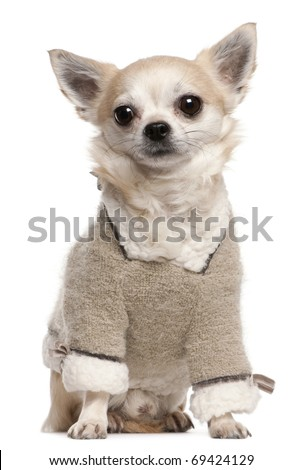 Chihuahua wearing sweater, 4 years old, sitting in front of white background