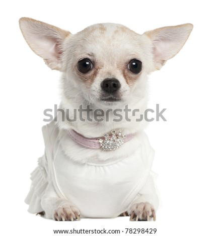 Chihuahua wearing tiara collar, 10 months old, in front of white background
