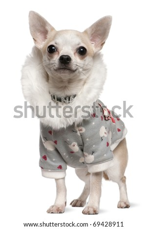 Chihuahua wearing winter outfit, 4 years old, standing in front of white background