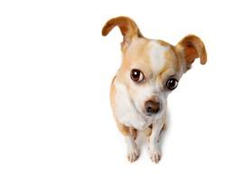 Chihuahua With Big Ears Eavesdrops