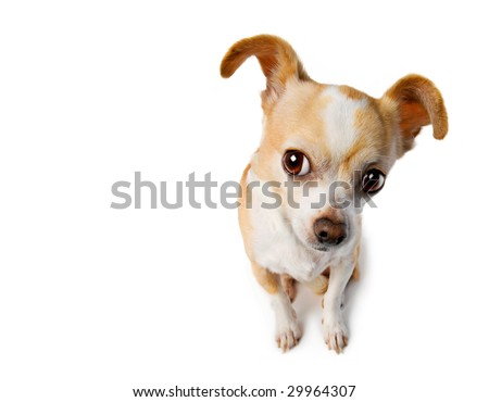 Chihuahua With Big Ears Eavesdrops
