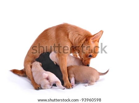 chihuahua with puppies on white