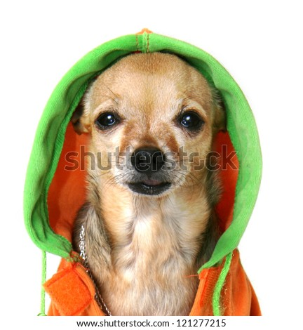 chihuahua with some bling and a jacket