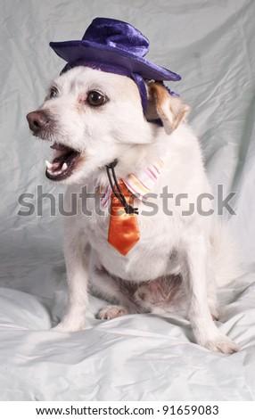 chihuahua yawning in costume