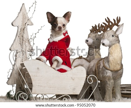 Chihuahua, 1 year old, in Christmas sleigh in front of white background