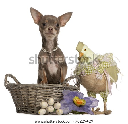 Chihuahua, 1 year old, sitting in Easter basket with stuffed chicken beside, in front of white background