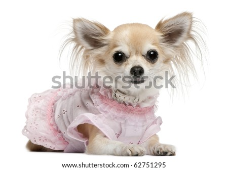 Chihuahua, 2 years old, dressed up and lying in front of white background