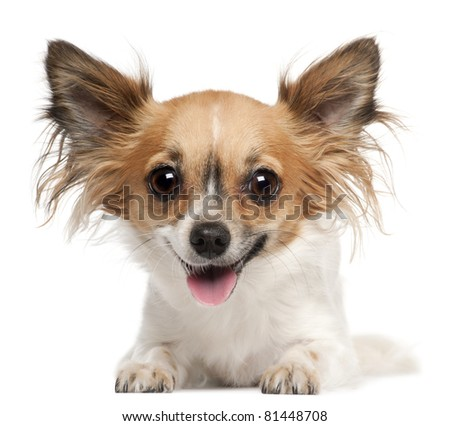 Chihuahua, 2 years old, lying in front of white background