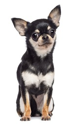 Chihuahua, 1.5 years old, sitting and looking at camera against white background