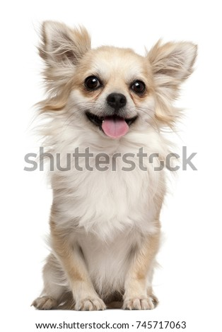 Chihuahua, 2 years old, sitting in front of white background